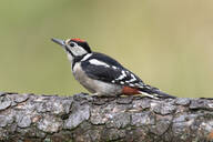 Close-up of great spotted woodpecker perching on tree trunk - MJOF01725