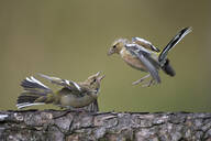 Close-up of chaffinches on tree trunk - MJOF01728