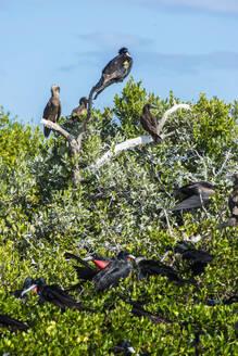 Fregate bird coloniy in the Codrington lagoon, Barbuda, Caribbean - RUNF03215