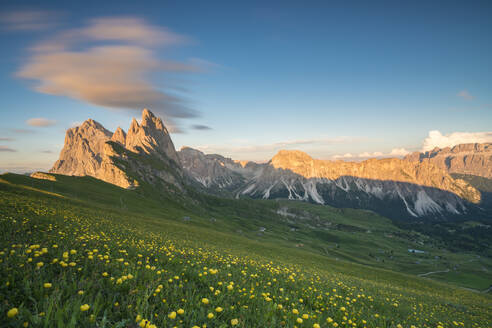 Field of globeflowers by Seceda mountain in Ortisei, Italy, Europe - RHPLF12216