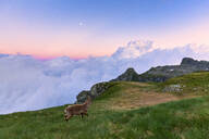 Young ibex walks in the grass with clouds in the background, at sunset, Valgerola, Orobie Alps, Valtellina, Lombardy, Italy, Europe - RHPLF12252