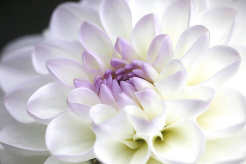 Extreme close-up of white dahlia - JTF01339