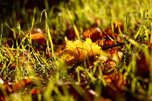 Close-up of autumn leaves on grassy land - JTF01342