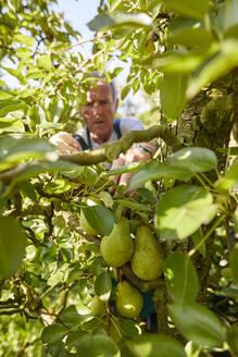 Streuobstwiesen, Deutschland, Baden-Württenberg, Owen, Schwäbische Alb, Bio-Williamsbirnen-Ernte beim Biobauern für lokal gebranten Williamsbrand - SEBF00247