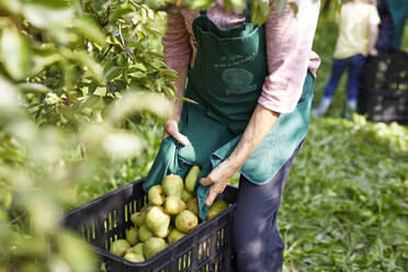 Organic farmers harvesting williams pears - SEBF00253