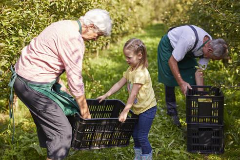 Streuobstwiesen, Deutschland, Baden-Württenberg, Owen, Schwäbische Alb, Bio-Williamsbirnen-Ernte beim Biobauern für lokal gebranten Williamsbrand, kleines Mädchen hilft bei der Ernte - SEBF00256