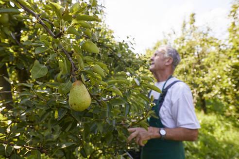 Streuobstwiesen, Deutschland, Baden-Württenberg, Owen, Schwäbische Alb, Bio-Williamsbirnen-Ernte beim Biobauern für lokal gebranten Williamsbrand - SEBF00262