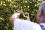 Organic farmer harvesting williams pears - SEBF00274