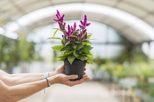 woman hands holding a plant in plant nursery/SPAIN/ALICANTE/ALICANTE - DLTSF00171