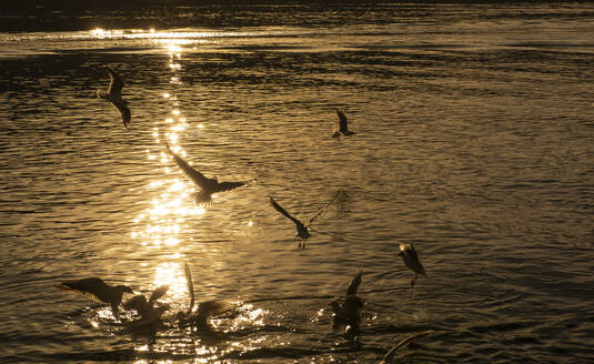 Silhouette birds flying over lake Tegernsee during sunset, Bavaria, Germany - LHF00718
