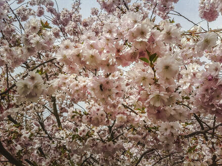 Low angle view of cherry blossom, Bavaria, Germany - FCF01811