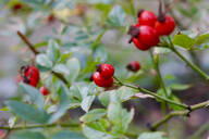 Close-up of rose hips growing on plant - JTF01352