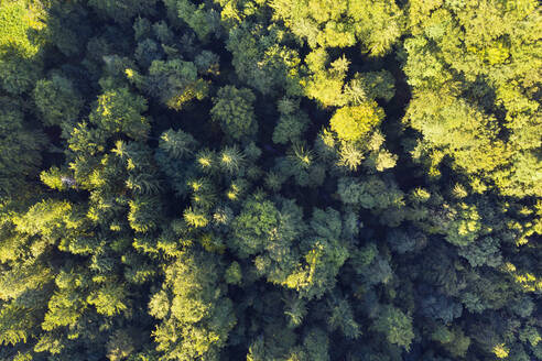 Germany, Upper Bavaria, Icking, Aerial view of green coniferous forest - SIEF09069