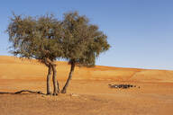 Tree in the desert and flock of goats, Wahiba Sands, Oman - WWF05316