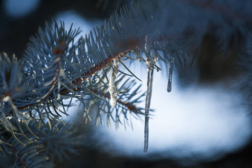 Backlit icicles in branch of blue spruce tree - CAVF63450