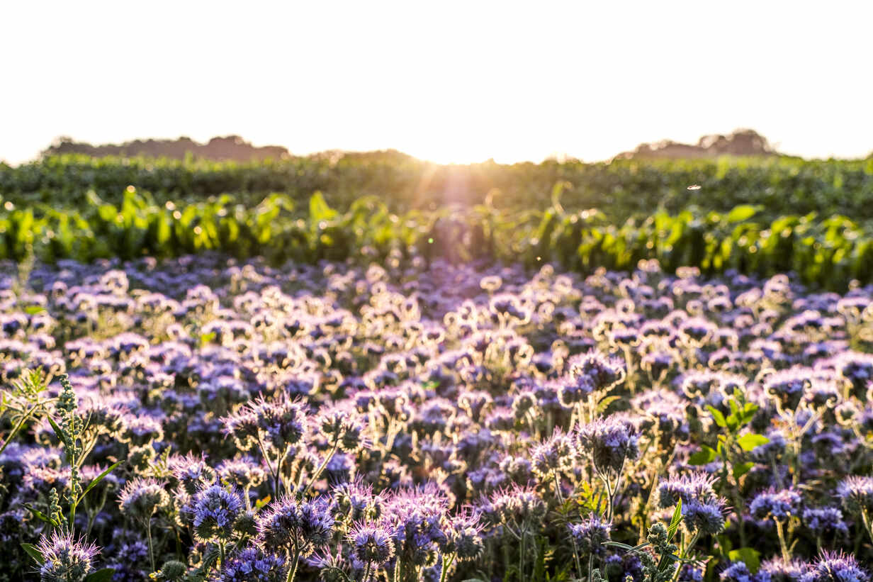 Germany Schleswig Holstein Rettin Purple Flowers Growing In Field At Sunset Egbf00323 Ega Birk Westend61