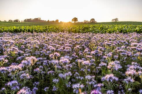 Germany, Schleswig-Holstein, Rettin, Purple flowers growing in field at sunset - EGBF00326