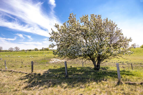 Germany, Schleswig-Holstein, Fehmarn, Fence in front of blossoming tree with sheep grazing in background - EGBF00330