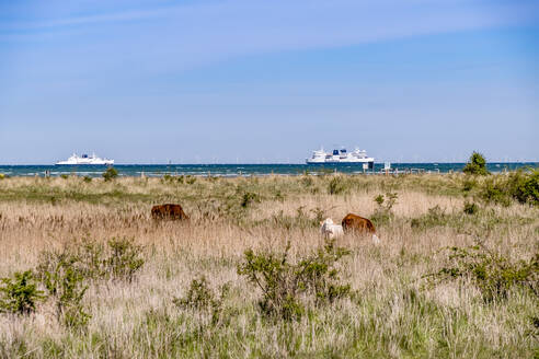 Germany, Schleswig-Holstein, Fehmarn, Cattle grazing on coastal grass with cruise ships in background - EGBF00333