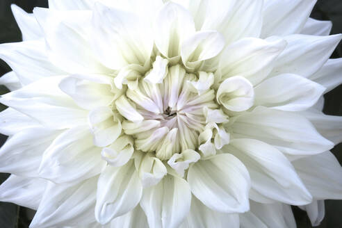 Germany, Saxony, close up of dahlia - JTF01366