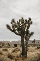 Joshua Tree in Joshua Tree National Park, California, USA - LHPF01008