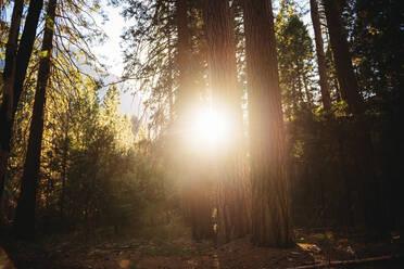 Conifers at sunset, Yosemite National Park, California, USA - GEMF03200
