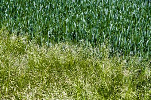 Germany, Bavaria, Baden-Wuerttemberg, close-up of grass - EGBF00346