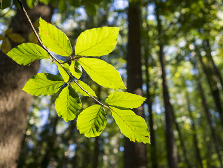 Germany, Bavaria, Upper Palatinate Forest, leaves in sunlight - HUSF00080