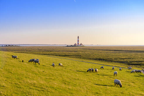 Flock of sheep grazing on pasture at the North Sea, Westerheversand, Germany - EGBF00354