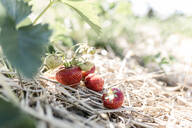 Strawberries on a field - STBF00445