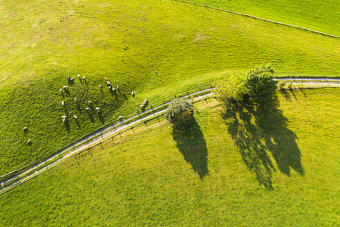 Germany, Bavaria, Beuerberg, Aerial view of flock of sheep grazing in pasture beside country road - SIEF09141