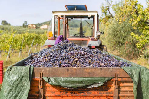 Harvested red grapes on tractor trailer in a vineyard - MGIF00795