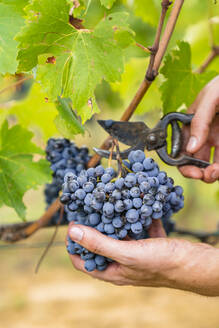 Close-up of man harvesting red grapes in vineyard - MGIF00810