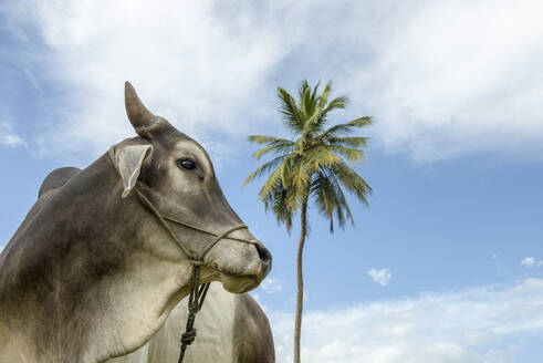 Ox tied and palm tree and blue sky on background - CAVF65410