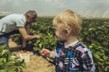 Father and son picking strawberries in strawberry plantation - MFF04900