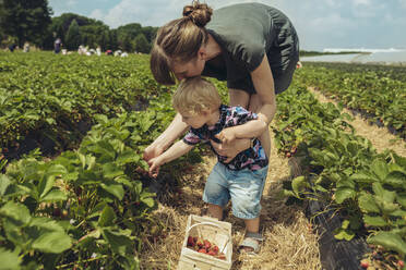 Mother and son picking strawberries in strawberry plantation - MFF04903