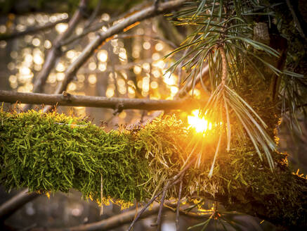 Germany, Bavaria, Close-up of moss-covered branch at sunset - HUSF00095