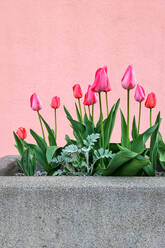 Pink tulips blooming in large stone pot - NGF00540