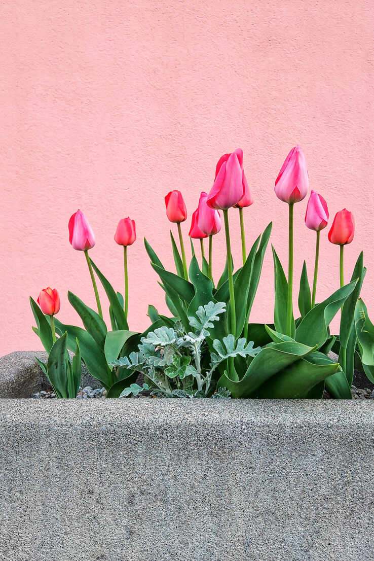 Pink tulips blooming in large stone pot - NGF00540 - Nadine Ginzel/Westend61