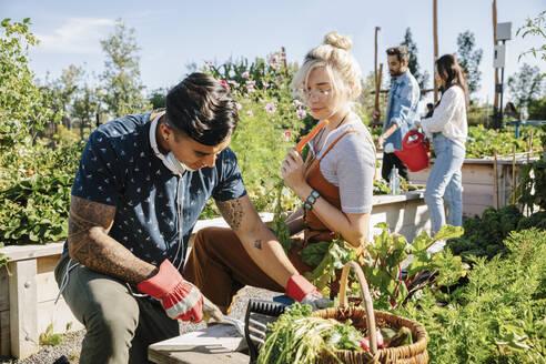 Young couple harvesting fresh vegetables in sunny community garden - HEROF39422