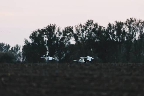Germany, Linum, Three Flying White Swans - JUBF00359