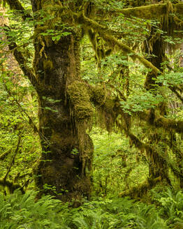 Hoh Rainforest, Olympic National Park, UNESCO World Heritage Site, Washington State, United States of America, North America - RHPLF12457