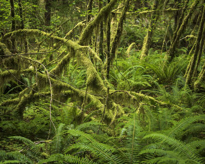 Hoh Rainforest, Olympic National Park, UNESCO World Heritage Site, Washington State, United States of America, North America - RHPLF12466