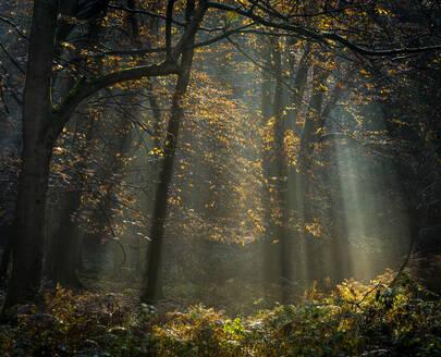 Common beech (Fagus sylvatica) trees, morning sunlight, autumn colour, King's Wood, Challock, Kent, England, United Kingdom, Europe - RHPLF12550