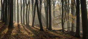 Common beech (Fagus sylvatica) trees, morning sunlight, autumn colour, King's Wood, Challock, Kent, England, United Kingdom, Europe - RHPLF12592