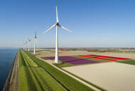 Windfarms both on and offshore, blossoming bulb fields in polder, Urk, Flevoland, Netherlands - CUF52601