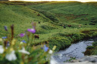 Cows grazing on grassy field by river - CAVF66451