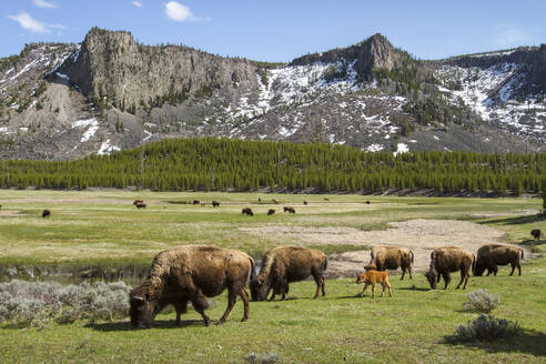 American Bisons grazing by mountains at Yellowstone National Park - CAVF67419