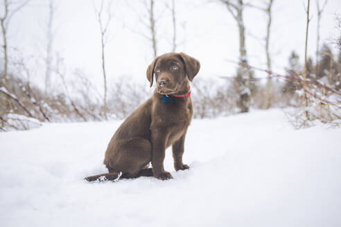 Chocolate Labrador looking away while sitting on snow covered field - CAVF68022