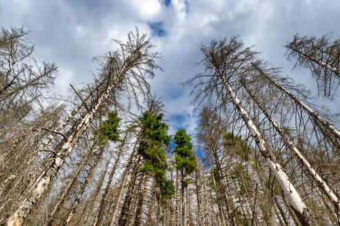 Dead spruce trees, Harz, Saxony-Anhalt, Germany - FRF00872